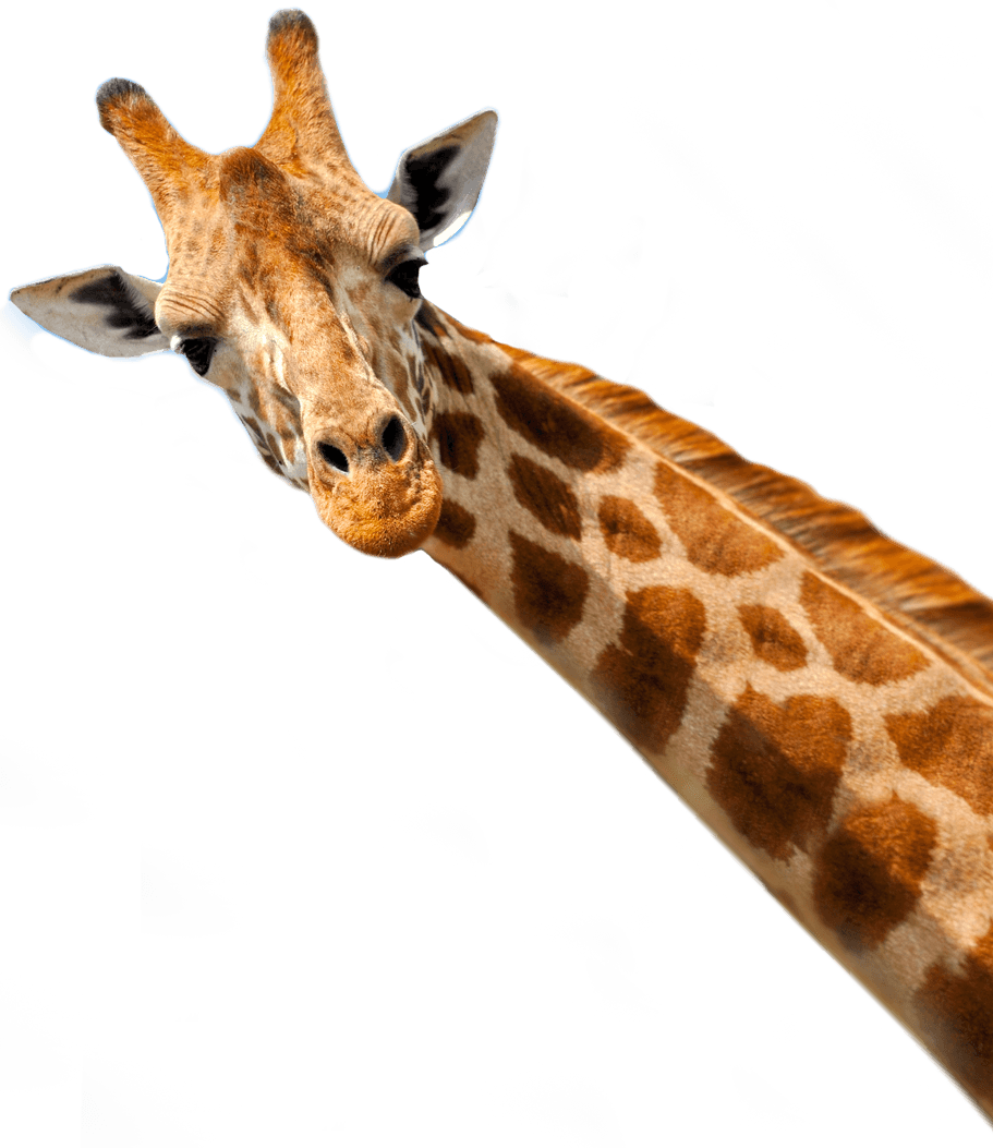 The Journey Of A Giraffe NAVIS The Cargo Company